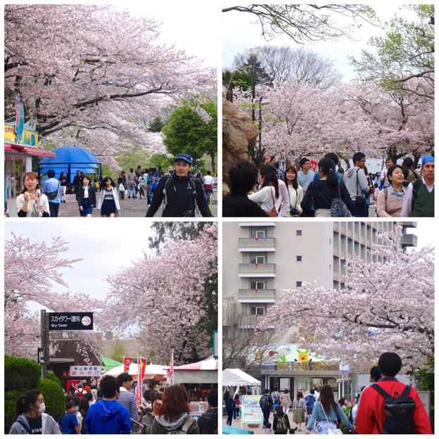 春の東山動植物園:桜が満開♪(2015/4/4)- 1