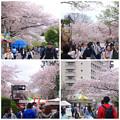 写真: 春の東山動植物園:桜が満開♪(2015/4/4)- 1