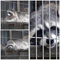 写真: 春の東山動植物園:陽気が心地よかったのか、ウトウトしだすアライグマ