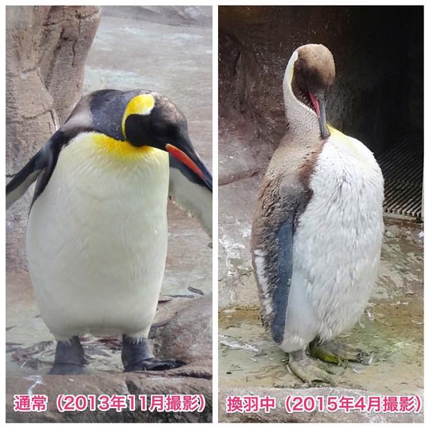 東山動植物園:換羽時とそうでない時のオウサマペンギン - 3