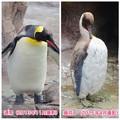 写真: 東山動植物園:換羽時とそうでない時のオウサマペンギン - 3
