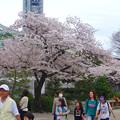 写真: 春の東山動植物園 No - 002:満開の桜(2015/4/4)