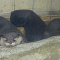 写真: 春の東山動植物園 No - 018:とっても可愛らしかった、コツメカワウソの子供