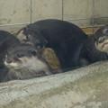 写真: 春の東山動植物園 No - 019:とっても可愛らしかった、コツメカワウソの子供
