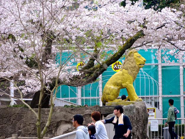 写真: 春の東山動植物園 No - 029:満開の桜とライオン像(2015/4/4)