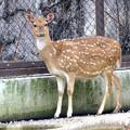 写真: 春の東山動植物園 No - 031:毛並みが綺麗だったアクシスジカ