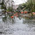 写真: 春の東山動植物園 No - 033:大量の桜の花びらが浮かぶ、フラミンゴ池(2015/4/4)
