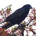 春の東山動植物園 No - 042:桜の枝に止まるカラス