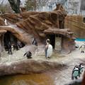写真: 春の東山動植物園 No - 045:換羽(羽毛が生え変わり)中のオウサマペンギン