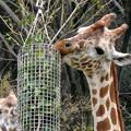写真: 春の東山動植物園 No - 061:食事中のアミメキリンの親子