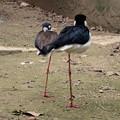 写真: 春の東山動植物園 No - 067:一本足で器用に眠る、クロエリセイタカシギ