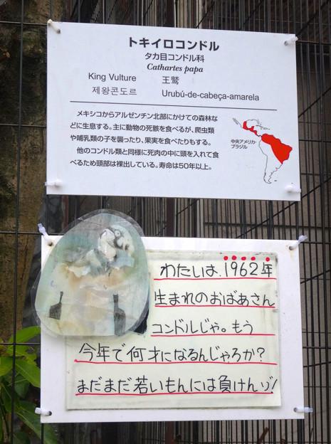 写真: 春の東山動植物園 No - 140:53歳(1962年生まれ)!?の、トキイロコンドル