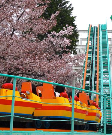 春の東山動植物園 No - 151:満開の桜(2015/4/4)