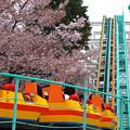 写真: 春の東山動植物園 No - 151:満開の桜(2015/4/4)