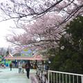 写真: 春の東山動植物園 No - 154:満開の桜(2015/4/4)