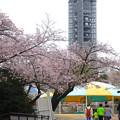 写真: 春の東山動植物園 No - 156:満開の桜と東山スカイタワー(2015/4/4)