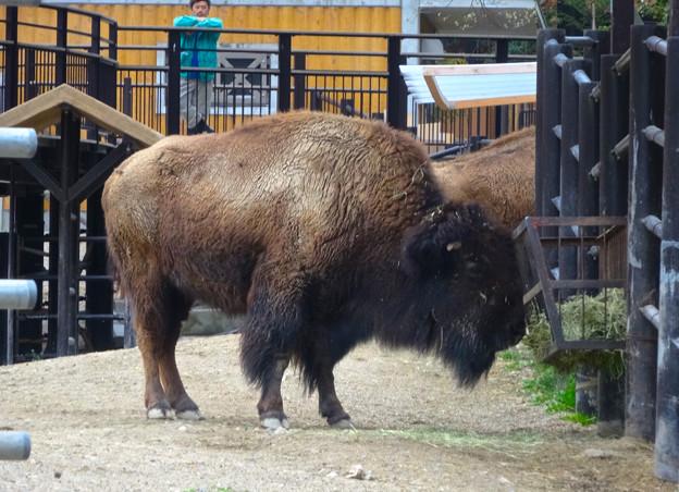春の東山動植物園 No - 159:食事中のアメリカバイソン