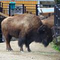 Photos: 春の東山動植物園 No - 159:食事中のアメリカバイソン