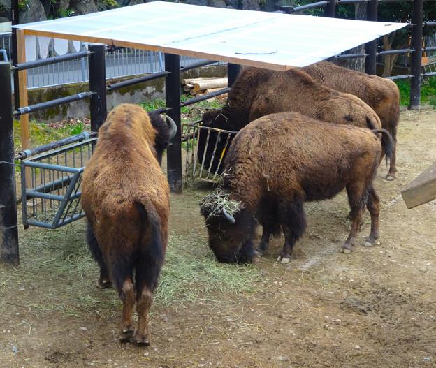春の東山動植物園 No - 161:食事中のアメリカバイソン