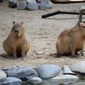 写真: 春の東山動植物園 No - 169:なぜか一直線に並んでこちらを見ていた、カピバラの親子