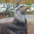 Photos: 春の東山動植物園 No - 183:誇らしげに写真を撮らせる(?)ハクトウワシ