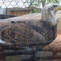 写真: 春の東山動植物園 No - 184:誇らしげに写真を撮らせる(?)ハクトウワシ