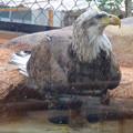 写真: 春の東山動植物園 No - 185:誇らしげに写真を撮らせる(?)ハクトウワシ