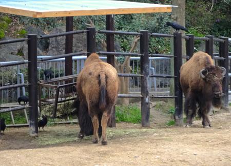 春の東山動植物園 No - 189:食事中のアメリカバイソンに群がるカラス