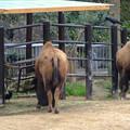 写真: 春の東山動植物園 No - 189:食事中のアメリカバイソンに群がるカラス