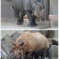 写真: 東山動植物園:なぜかいつもより茶色がかっていた、インドサイ - 1