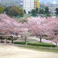Photos: 桜の時期、水の塔から見下ろした落合公園(2015/4/7)No - 35