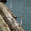 写真: 山王橋の袂に浮かぶ材木の上に、沢山のアオサギとカワウ!? - 15