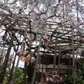 玉蔵院の枝垂桜6