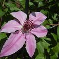 クレマチス、咲きましたO(≧▽≦)O