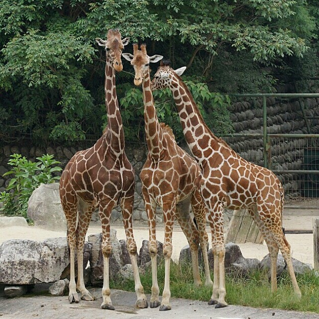 Photos: キリンレディたち。左からキリコさん、メグミさん、昨年来たカナさん。大きくなったねぇ @安佐