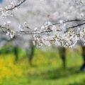 里山のお花見