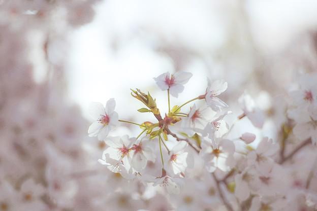 Photos: 花おぼろ