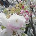 写真: 二階ベランダからの庭の八重ちゃん。七or八分咲きかな、蕾の色が濃くてキレイ。