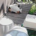写真: ゴミ捨てに出たら、我が家の庭の女王さまがお昼寝中でした。