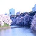 写真: お堀の桜