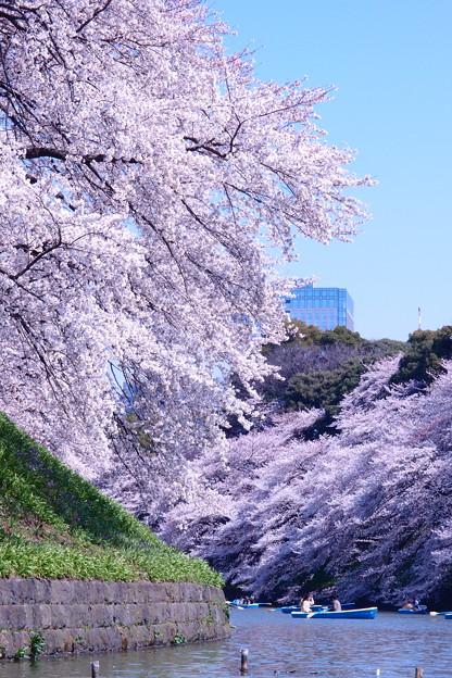 写真: 桜の谷