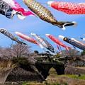 Photos: 桜と鯉と眼鏡橋
