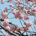 04.大阪造幣局 桜の通り抜け