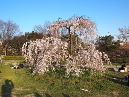 梅小路公園のしだれ桜02