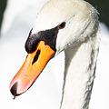 写真: 水も滴るいい白鳥
