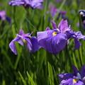 初紫(江戸古花)