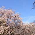 Photos: 桜2015-no1