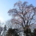 Photos: 桜2015-no2