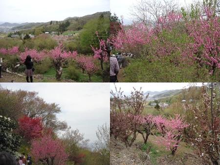 花見山公園ピンク