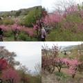 写真: 花見山公園ピンク